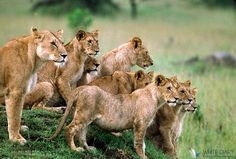 #AFRICA The Serengeti National Park is a Tanzanian national park in the Serengeti ecosystem in the Mara and Simiyu regions. TIP: Famous for its annual migration of over 1.5 million white bearded (or brindled) wildebeest and 250,000 zebra and for its numerous Nile crocodile. Visit: http://travelconsultant.co.in/