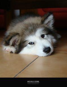 Malamute puppy..... OMG how cute are you!