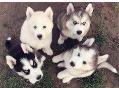 @carlenesantamar ==>http://www.amazingdogtales.com/gifts-for-siberian-husky-lovers/