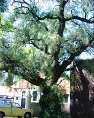 We're living in an urban forest - fascinating story of JHB city trees and the good they do