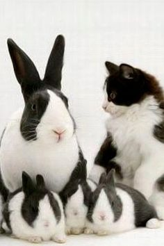 I've had a house rabbit and 3 cats (one a tuxedo like this) and they do behave similarly at times