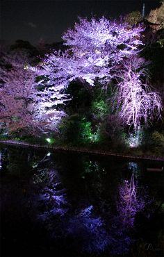 YOZAKURA:Night viewing of The cherry blossoms  Apr.7,2012 @ Four Seasons Hotel Tokyo, Chinzan-So