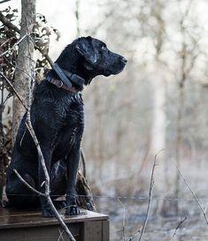 Labrador Retriever, Dogs, Connect, Powder, Animals, People, Black, Labrador Retrievers, Animales
