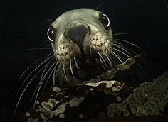 Luminous Sea exhibit: photography of Richard Salas - Steller face, Seattle Aquarium.