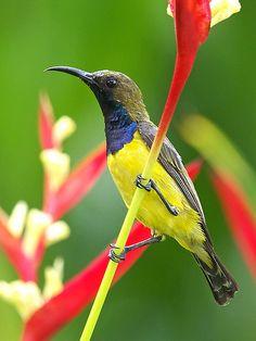 Sunbird | by Allan Lee
