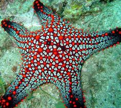 Pillow Starfish | ©Deep Blue Diving Adventures | By: Deep Blue Diving | via Flickr