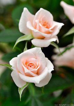 Rosa 'Peach Candy' (U.S., 1995)