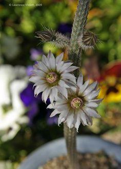 Echinocereus leucanthus, cultivated