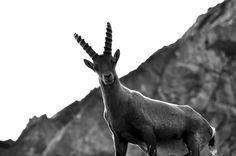 imperial ibex 2