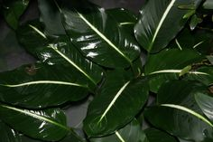 Image result for variegated dieffenbachia