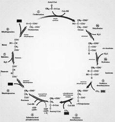 Découvrez le cycle de Krebs de la créativité ! – Graphisme & interactivité