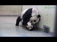Baby panda = TOO CUTE