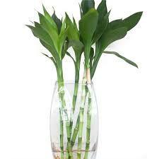 bambu da sorte em aquario - Pesquisa Google