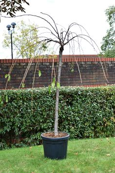 6ft 'Cheal's Weeping Cherry' Blossom Tree | 10L Pot | Prunus 'Kiku-shidare-zakura' £64.99 Cherry Blossom Tree, Blossom Trees, Prunus, Tree Stakes, Weeping Cherry Tree, Replant, Nature Plants, Deciduous Trees, Edible Plants