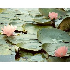 Lily Pad Photo - 8x10 Fine Art Print - Paris, France - Giverny, Frog,... ($22) ❤ liked on Polyvore featuring backgrounds, pictures, photos, pics and flowers