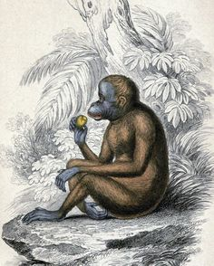 Orangutan /Pithecus satyrus, the Red or Asiatic Orang-outang/ (Jardine 1846)