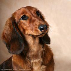 Dachshund   dachshund, dog