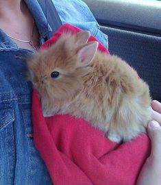 For those who are searching for a family pet that is not only adorable, but very easy to have, then look no further than a pet bunny. Cute Little Animals, Cute Funny Animals, Cute Dogs, Cool Pets, Cute Baby Bunnies, Funny Bunnies, Pet Rabbit, Lionhead Rabbit, Fluffy Rabbit