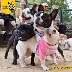 French Bulldog Pileup at the Dog Park.