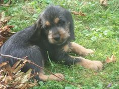 Griffon Nivernais Puppy Dog Griffon Nivernais, Hunting Dogs, Dogs And Puppies, Photo And Video, Dog Breeds, Larger, Photos, Animals, Dogs