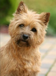 Cairn Terrier Hair Cuts | newhairstylesformen2014.com