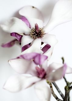 Tulip magnolias lend such a subtle, sweet scent to the springtime breeze #South #Southern