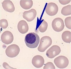 Red Blood Cell Developmental Stages | Erythrocyte Cells and Inclusions