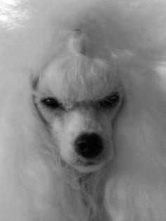 Pretty White Poodle Face!
