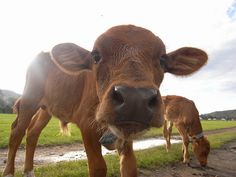 baby cows <3
