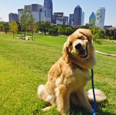 Making goofy faces at Griggs Dog Park - Dallas, TX - Angus Off-Leash #dogs #puppies #cutedogs #dogparks #goldenretrievers #dallas #texas #angusoffleash