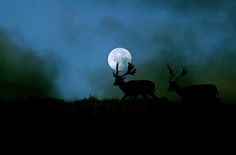Beautiful Full Moon behind the two elks. I simply like pictures from all sorts of things. Love the night sky!!