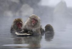 Japanese Macaques (or Snow Monkeys) groom each other in a hot spring at a snow-covered valley in Yamanouchi town, central Japan January 20, ...