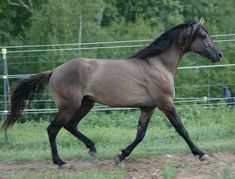 My target choice of horse is the Missouri Fox-trotter.  This one is just a beautiful color which is why I chose it. But I have ridden a gaited horse a few times and you hit that gait it is like sitting in a rocking chair .. nice and smooth!!  Missouri Fox-trotter's just caught my eye and I am hooked!!