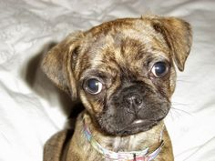 It's a BOG (Boston Terrier/Pug mix) and they end up looking a lot like boxers...WANT!