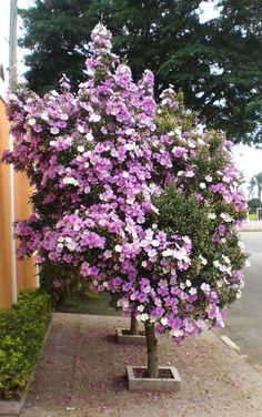 Brazilian Flower Quaresmeira🌼 Most of time planted on a sidewalk! Gorgeous mixed colors pink and white, Brazilian native tree! Comment Planter, Colorful Plants, Flowering Shrubs, All Flowers, Container Gardening, Color Mixing, Sidewalk, Home And Garden, Tropical