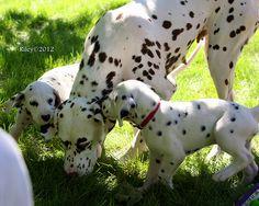 Dalmatian puppy at the puppy picnic in Minnesota - File0126