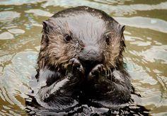 bashful otter :0)