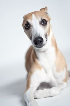 Whippet dog photo