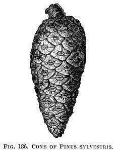 Pine Cone ~ Free Vintage Clip Art