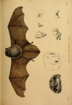 v.1 plates: Mammalia (1848-1860) - Proceedings of the Zoological Society of London. - Biodiversity Heritage Library