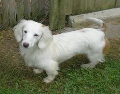 The Piebald Dachshund has a white coat with variations of grey, brown or black… Dachshund Breed, Wire Haired Dachshund, Weenie Dogs, Dachshund Puppies, Dachshund Love, Cute Puppies, Cute Dogs, Doggies, Cream Dachshund