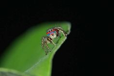 19.) Jumping Spider - <em>Stenaelurillus</em>