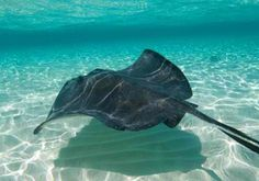 Stingray City, Grand Cayman.