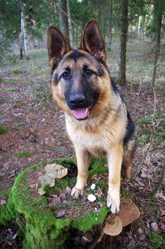 Sweet German shepherd in the forest.