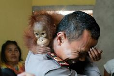 Habitat loss, Orangutan Babies Found in Oil Palm Plantation - Foto.kompas.com