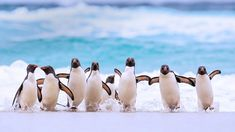 For World Penguin Day, we're featuring a jaunty group of southern rockhopper penguins on a Falkland Islands beach. Most penguins slide . Birds Wallpaper Hd, 4k Wallpaper Android, Penguin Day, Penguin Bird, Galapagos Penguin, Rockhopper Penguin, Penguin Pictures, Penguin Species, The Beach