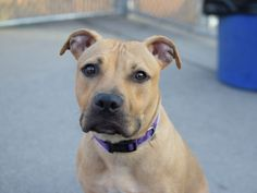 LYLA aka BUTTER – A1072458  ***RETURNED 06/12/16***  FEMALE, TAN / BLACK, AM PIT BULL TER MIX, 1 yr, 1 mo RETURN – ONHOLDHERE, HOLD RELEASED Reason PETS CONFL Intake condition EXAM REQ Intake Date 06/12/2016, From OUT OF NYC, DueOut Date 06/12/2016