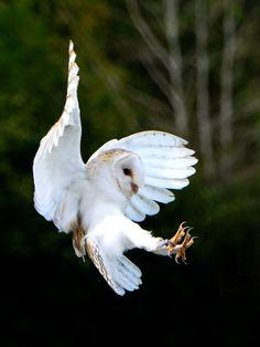 https://flic.kr/p/xTUsjg | Barn Owl | International Birds of Prey Centre, Newent, Gloucestershire