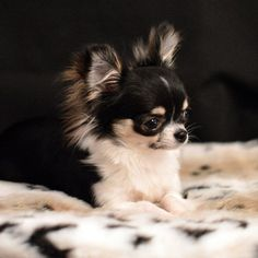 Long Haired Chihuahua, Cute Chihuahua, Chihuahua Puppies, Cute Puppies, Cute Dogs, Puppy Pictures, Animal Pictures, Chiwawa, Kittens And Puppies