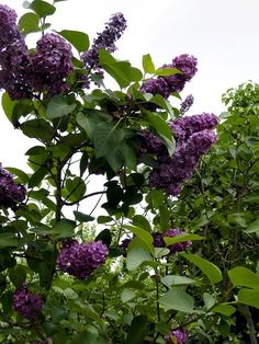 Dessert Recipes, Fruit, Liliac, Garden, Nature, Flowers, Plants, Foods, Cakes